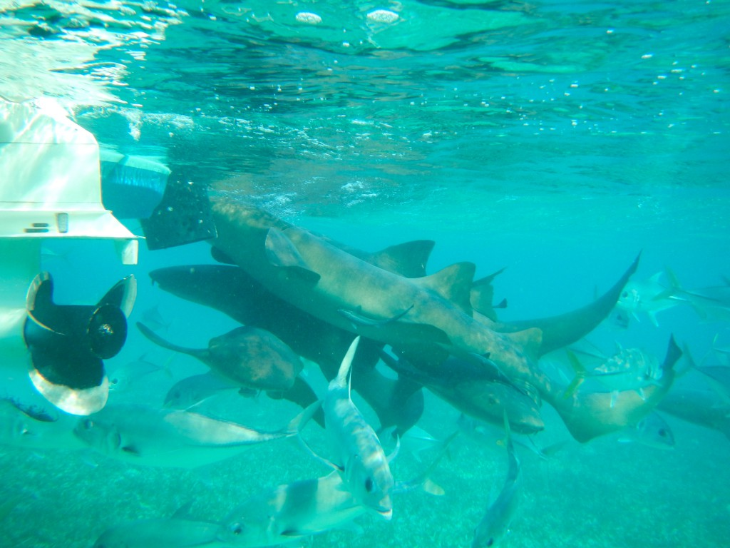 Nurse Sharks Feasting